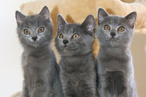 Goueytes chartreux