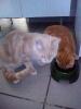 Les chats à table BARF