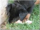Chiot âgé de 4 semaines.